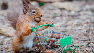 Red squirrel with a shopping trolley full of acorns. Photographer Jeffrey Wang.: Red squirrel with a shopping trolley full of acorns. Photographer Jeffrey Wang.