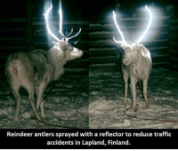 traffic accident: Reindeer antlers sprayed with a reflector to reduce traffic  accidents in Lapland, Finland.