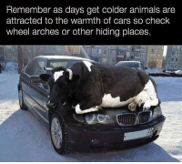Animals, Cars, and Car: Remember as days get colder animals are  attracted to the warmth of cars so check  wheel arches or other hiding places Dont forget to check your car thoroughly..