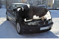 Animals, Cars, and Remember: Remember as days get colder animals are attracted to the warmth of cars so check wheel arches or other hiding places.