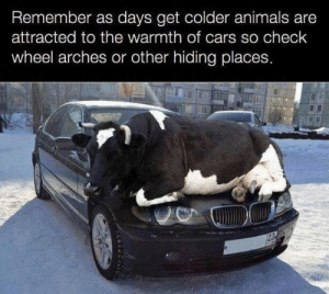 Animals, Cars, and Tumblr: Remember as days get colder animals are  attracted to the warmth of cars so check  wheel arches or other hiding places failnation:  Be cow-ful before you drive