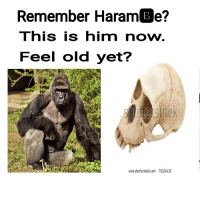Harambee: Remember HaramBe?  This is him now  Feel old yet?  www.shutterstock.com 75124432