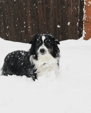 Remy enjoying the snow day in Oregon!: Remy enjoying the snow day in Oregon!
