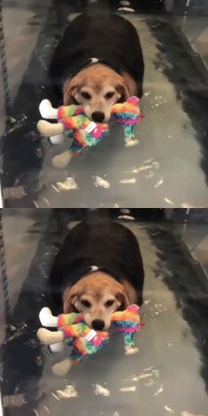 rescue chonk has his very own support toy while he exercises(via): rescue chonk has his very own support toy while he exercises(via)