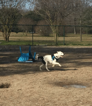 """Rescue doggo only knew """"No"""" and """"Crate."""" This is her first ever trip to a dog park.: Rescue doggo only knew """"No"""" and """"Crate."""" This is her first ever trip to a dog park."""