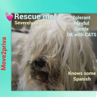 """💔 NY MANHATTAN TO BE DESTROYED 7-10-17💔 ➡️**NEW HOPE RESCUE** . My name is ROCKIE 💙 My Animal ID is A1115829 I am a neutered male white maltese mix. The shelter thinks I am about 5YEARS old. 07-03-2017 - surrender reason stated was MOVE2PRIVA 😡 . Rockie was born in the home, now owners are moving and cannot bring Rocky with them. Rocky last visited a vet a year ago. When strangers come over Rocky barks at them but keeps his distance but if they run away he chases them and bites at the ankle of their pants 😩. He lives in a home with children and is tolerant and playful and plays gently. if it is a strange child he reacts to them He does not like to be picked up however and will snap if attempted. He reacts to all strangers the same no matter their age. He is relaxed around other dogs and playful with cats. NO BITE HISTORY. Rocky is house trained and does not destroy household items. He is NOT bothered by having his food or toys touched while he has them😊. When being bathed, brushed or having his nails trimmed he will bark, growl and snap. when unfamliar people approach his home or family member he barks. Rocky has a medium level of activity at home. He really loves to play with balls and play fetch with something squeaky😍. He sleeps in his owners bed or his dog bed. Fed dry food twice daily. He is trained touse the weewee pad, well behaved when left home alone and knows the commands """"sit, come and no"""" in both spanish and english. Not a leash puller and is not walked off leash. 😢💔🙏🏻🙏🏻🙏🏻💗💗💗 *** severely matted down caudal dorsum and limbs, tail ear pinnae *** . ***CONSIDER fostering, ALL expenses paid. 🙏🏻EMAIL helpdogs@urgentpodr.org if you're local to NY or the NE USA & can adopt- foster THIS pet.: Rescue meTolerant  Severely matted  Playful  Gentle  OK with CATS  Knows some  Spanish 💔 NY MANHATTAN TO BE DESTROYED 7-10-17💔 ➡️**NEW HOPE RESCUE** . My name is ROCKIE 💙 My Animal ID is A1115829 I am a neutered male white maltese mix. The shelter thinks I am about 5YEARS o"""