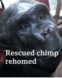 Memes, The Ring, and Lost: Rescued chimp  rehomed Home at last: Naree the chimpanzee, a victim of the illegal wildlife trade, is settling into her new home at the UK rescue centre Monkey World. Naree was smuggled into Thailand and made to perform in a circus, pulling an orangutan and a tiger around the ring in a rickshaw. Her previous mistreatment means Naree cannot be released back into the wild. However, the move to Monkey World will allow her to live among her own kind again. Dr Alison Cronin, director of Monkey World, first met Naree in 2003 but lost contact with her when she was seized by Thai authorities. 🐒 To see more of Naree, tap the link in our bio. chimpanzee chimp monkeyworld wildliferefuge secondchance bbcnews