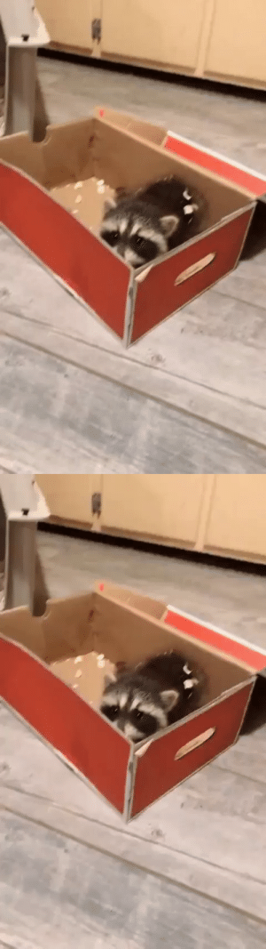 Rescued Raccoon makes a discovery(Source): Rescued Raccoon makes a discovery(Source)