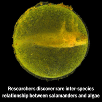 Researchers discovered that algae and salamanders have a tendency to share cells. Scientists aren't sure why they've evolved this way, but it could be a sign of a new symbiotic relationship. Apparently, cell-within-cell arrangements are common between different species, including coral, clams and different kinds of insects, but the relationship between algae and salamanders seems odd mainly because it seems to not be mutually beneficial. Research shows that the salamander doesn't appear to have any problem sharing a cell — scientists think it may actually be benefiting from it in some way — while the algae, on the other hand, finds its roommate stressful and is forced to rely on alternative methods of energy production. Kind of like when your roommate uses most of the internet bandwidth.. (Image via Roger Hangarter): Researchers discover rare inter-species  relationship between salamanders and algae Researchers discovered that algae and salamanders have a tendency to share cells. Scientists aren't sure why they've evolved this way, but it could be a sign of a new symbiotic relationship. Apparently, cell-within-cell arrangements are common between different species, including coral, clams and different kinds of insects, but the relationship between algae and salamanders seems odd mainly because it seems to not be mutually beneficial. Research shows that the salamander doesn't appear to have any problem sharing a cell — scientists think it may actually be benefiting from it in some way — while the algae, on the other hand, finds its roommate stressful and is forced to rely on alternative methods of energy production. Kind of like when your roommate uses most of the internet bandwidth.. (Image via Roger Hangarter)