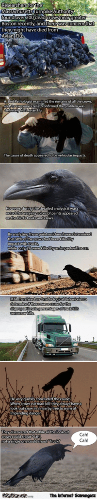 Cah: Researchers forthe  MassachusettsTurnpike Authority  found  Boston recently, and therewasconcern that  they might have died from  Avian Fl  over 20o dead crows near greater  A BirdPathologist examined the remains of all the crows  and tocveryone's relief,confirmed the problem was  definitelyNOTAvian Flu.  The cause of death appeared to be vehicular impacts  However,during the detailed analysis it was  noted thatvarying colorsof paints appeared  onthe bird sbeaksand clawS.  Byanalyzing these paintresidues itwas determine  that 98% of the crows had been killed by  impact withtrucks  byanimpactwithacar  MTA then hired an Ornithological Behaviorist to  determine if therewas.acause for the  disproportionate percentagesof truck kills  ersus car kills  He very quickly concluded the cause:  When crows eat road kill, they always have a  look-out crowina nearby tree to warn of  impending danger.V  Theydiscovered thatwhile all the lookout  crows could shout Cah  nota singleone could shout rucK  Cah!  Cah!  The intemet Scavengers