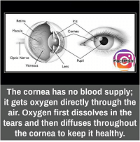 Follow our page for more Facts 😇 Don't forget to tag your friends 💖: Retina  Iris  Macula  Cornea  Optic Nerve  Pupil  FactPoint  Vitreous  Lens  The cornea has no blood supply,  it gets oxygen directly through the  air. Oxygen first dissolves in the  tears and then diffuses throughout  the cornea to keep it healthy. Follow our page for more Facts 😇 Don't forget to tag your friends 💖