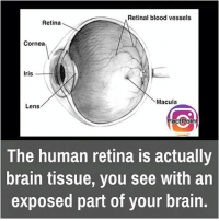 did you know fact point , education amazing dyk unknown facts daily facts💯 didyouknow follow follow4follow f4f factpoint instafact awesome world worldfacts like like4ike tag friends Don't forget to tag your friends 🤘: Retinal blood vessels  Retina  Cornea  Iris  Macula  Lens  FactPoint  The human retina is actually  brain tissue, you see with an  exposed part of your brain. did you know fact point , education amazing dyk unknown facts daily facts💯 didyouknow follow follow4follow f4f factpoint instafact awesome world worldfacts like like4ike tag friends Don't forget to tag your friends 🤘