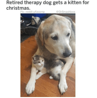 "Af, Be Like, and Bless Up: Retired therapy dog gets a kitten for  christmas.  Pic: reddit u/lizcomp  @DrSmashlove So last week I posted an adorable pup that was a doggo-coyote mix. Obviously that precipitated a lot of bewildered comments from my beloved followers: ""hold up...dogs and coyotes mix?"" Now I ain't think much about it at the time, but upon further reflection...DOGS AND COYOTES (and dogs and wolves 🐺) MIX?! LIKE THESE SPECIES HAVE RELATIONS BRUV?! 😂. Imagine the type of pressure u under as a dog! Like Mr. Peter Poodle hanging at home with Mrs. Pepper Poodle and she gardening and he tending the lawn in overalls and down the street come a wolf and a coyote in a black Chrysler 300 (like them Chryslers that all the trappers drive where it look like a Bentley but really Issa Chrysler) and Mr. Walter Wolf behind the wheel in Cartier glasses, an LA Raiders cap and a leather Pelle Pelle jacket crunching jolly ranchers and holding a double styrofoam cup just pull up to the crib like ""AYE PEPPER. GET IN THE WHIP, B!H."" And ol Peter just like ""I'm sorry! You can't speak to my spouse like that! Stop at once before I alert the authorities! I'll have you know that I golf with the Chief of Police!"" And Walter Wolf just hop out and tear Peter's leg off and start eating it lmao. And he look at Peter like BOY LEMME GIVE U A LIL HISTORY LESSON. ME AND PEPPER USE TO DATE IN HIGH SCHOOL. I GOT HER CARRYING MY PUPS TOO BUT SHE WENT TO PLANNED PUPPERHOOD. SHE AIN TELL U ALL THAT DID SHE. PLUS SHE SENDING ME SNAPS WHEN U AT WORK OL ""Peter from procurement"" lookin a$$. FYI. PEPPER GET IN THE DAMN CAR. NONE OF THIS ARF ARF WOOF WOOF ISHT. SHE READY TO GO BACK TO A REAL BEAST."" And Walter just throw Peter's leg on the ground and be like ""I'LL BRING HER BACK WHEN I'M DONE."" Smfh. Animal kingdom wil af. Thank God I ain't gotta deal with an uber-species of trained killers coming for my ladies. To quote Gucci Mane...sh!t shkressful Bruh 😫 BLESS UP 😂😂😂"