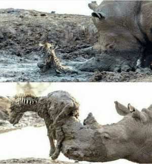 Rhino, Zebra, and Mud: Rhino helping a zebra trapped in mud