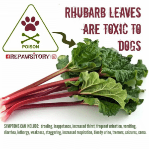 """Animals, Dogs, and Head: RHUBARB LEAVES  ARE TOXIC TO  DOGS  POISON  AREPAWSITORY o,  SYMPTOMS CAN INCLUDE: drooling, inappetance, increased thirst, frequent urination, vomiting,  diarrhea, lethargy, weakness, staggering, increased respiration, bloody urine, tremors, seizures, coma RHUBARB AND DOGS  ~ Anthony  . If you're like me, the first thing that pops into your head when you hear the word """"rhubarb"""" is strawberry-rhubarb pie.  Good grief, I'm drooling just thinking about it.   . What you need to know if you have dogs is that the green leaves of this deep red perennial plant can be toxic for your dog if ingested, as they can also be to other animals including humans.  Poisoning from rhubarb plants causes a sudden drop in calcium.  The stalk itself is not considered toxic.  It may even provide some therapeutic effects in treating constipation, but we'd rather not take any chances ourselves, especially with other options for treating that condition. . Symptoms of rhubarb toxicity in dogs include, but aren't limited to: drooling, inappetance, increased thirst, frequent urination, vomiting, diarrhea, lethargy, weakness, staggering, increased respiration, bloody urine, tremors, seizures, coma. . Prevent accidental ingestion by keeping your dog's environment free of the plant.  Contact your vet if you suspect your dog has ingested rhubarb. . Don't let the above information scare you from acquiring some rhubarb in order to make your favorite dish. Now that you are aware of its potential health effects, you can keep your dog safe from rhubarb. . Learn More Links: . https://www.petpoisonhelpline.com/poison/rhubarb/ . https://www.petplace.com/article/dogs/pet-health/rhubarb-toxicity-in-dogs . https://www.aspca.org/pet-care/animal-poison-control/toxic-and-non-toxic-plants/rhubarb . https://www.rover.com/blog/can-dog-eat-rhubarb/ . https://wagwalking.com/condition/rhubarb-poisoning . https://www.cbif.gc.ca/eng/species-bank/canadian-poisonous-plants-information-system/all-pla"""