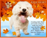 Andrew Bogut, Animals, and Desperate: Rhys 4456  ME  Fetching little Rhys  is 6 years young &  waits for you to  save his life at the  Brooklyn, NY  ACC. Inquire about  him now before it is  too late!  冬 **FOSTER or ADOPTER NEEDED**  Fetching little Rhys is 6 years young & waits for you to save his life at the Brooklyn, NY ACC. Inquire about him now before it is too late!  ✔Pledge✔Tag✔Share✔Foster✔Adopt✔Save a life!  Rhys 44561 Small Mixed Breed Sex male Age 6 yrs (approx.) My health has been checked.  My vaccinations are up to date. My worming is up to date.  I have been micro-chipped.  I am waiting for you at the Brooklyn, NY ACC. Please, Please, Please, save me!  ****************************************** To FOSTER or ADOPT,  SPEAK UP NOW & Save a Life:  Direct Adopt from the ACC Or Apply with rescues Or Message Must Love Dogs - Saving NYC Dogs for assistance ASAP!!! ****************************************** The general rule is to foster you have to be within 4 hours of the NYC ACC approved New Hope partner rescues you are applying with and to adopt you will have to be in the general NE US area; NY, NJ, CT, PA, DC, MD, DE, NH, RI, MA, VT & ME (some rescues will transport to VA).  ================================= ... NOTE: *** WE HAVE NO OTHER INFORMATION THAN WHAT IS LISTED WITH THIS FLYER *** ... RE: ACC site Just because a dog is not on the ACC site does not mean they are safe by any means. There are many reasons for this like a hold or an eval has not been conducted yet or the dog is rescue-only... the list goes on... Please, do share & apply to foster/adopt these pups as well until their thread is updated with their most current status. TY!  ============ Shelter addresses ========== - Manhattan Shelter: 326 East 110 St., New York, NY 10029  - Brooklyn Shelter: 2336 Linden Boulevard, Brooklyn, NY 11208  - Staten Island Shelter: 3139 Veterans Rd W, Staten Island, NY 10309 - Phone number: 212-788-4000 (is automated only) Operating hours: Monday through Friday 
