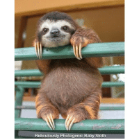 Photogenic sloth.: Ridiculously Photogenic Baby Sloth Photogenic sloth.