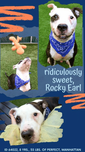 """INTAKE DATE – 5/26/2019  ** LEVEL 1 RATED SWEETHEART! **  ROCKY EARL WANTS A FAMILY TO SPEND HIS SUMMER DAYS WITH!    A volunteer writes:  """"Rocky Earl is beautiful inside and out, so if his teefy smile doesn't instantly win you over, his affectionate heart and playful spirit soon will. 8 years young and full of fun, he loves balls and plush toys and keeps his eyes firmly on the prize at all times, following my hand like a hawk until the blissful moment when the tennis ball sails through the air and he can sail after it. Rocky knows how to come and sit on command and he'll mostly wait for your throw, but if you make him wait too long you might find yourself face to face with a pair of pleading eyes you can't refuse! He appreciates petting, especially side rubs, and is a great walker, seemingly house trained and very good with fellow pups on leash or off. In other words...a perfect family pet! Rocky is one of the good guys and he comes complete with everything you want and nothing you don't, an easy to love sweetheart who'd fit into any active home with ease. This rock star is still waiting for his big break at our Manhattan Care Center, ask to meet him today!""""  Hurry and message our page or email us at MustLoveDogsNYC@gmail.com for assistance fostering or adopting this little slice of heaven!    ROCKY EARL, ID# 64022, 8 yrs old, 53.2 lbs, Unaltered Male Manhattan ACC, Large Mixed Breed, Brown Brindle / White   Owner Surrender Reason:  Shelter Assessment Rating:  LEVEL 1 (the best!) Medical Behavior Rating:  1. Green  *** TO FOSTER OR ADOPT ***    If you would like to adopt a NYC ACC dog, and can get to the shelter in person to complete the adoption process, you can contact the shelter directly. We have provided the Brooklyn, Staten Island and Manhattan information below. Adoption hours at these facilities is Noon – 8:00 p.m. (6:30 on weekends)  If you CANNOT get to the shelter in person and you want to FOSTER OR ADOPT a NYC ACC Dog, you can PRIVATE MESSAGE our Must L"""