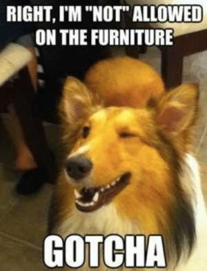 """25 Hilarious Dog Memes That Will Brighten Up Your Day: RIGHT, I'M """"NOT"""" ALLOWED  ON THE FURNITURE  GOTCHA 25 Hilarious Dog Memes That Will Brighten Up Your Day"""