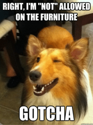 "Rocky, Furniture, and Table: RIGHT, I'M ""NOT"" ALLOWED  ON THE FURNITURE  GOTCHA  autCmeme.co Hey Rocky step on the table and look through the window."