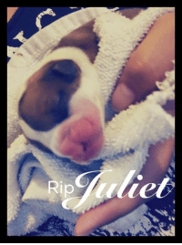 Juliet was ours for about an hour. She was a newborn cleftie Boxer pup in Houston. Her people were on their way to the er vet but she passed before they got there. She left with a name, being super loved, and will be remembered.   Love, Mac   We had lots of volunteers today at the annex helping. Puppy baths, dog walking, cleaning, feeding, laundry pick up and nail trims by Canine Clipz. Thank you everyone for helping the mom out, the pups have kicked her booty lately. BOL. Volunteers are awesome and giving time is priceless.: Rip Juliet was ours for about an hour. She was a newborn cleftie Boxer pup in Houston. Her people were on their way to the er vet but she passed before they got there. She left with a name, being super loved, and will be remembered.   Love, Mac   We had lots of volunteers today at the annex helping. Puppy baths, dog walking, cleaning, feeding, laundry pick up and nail trims by Canine Clipz. Thank you everyone for helping the mom out, the pups have kicked her booty lately. BOL. Volunteers are awesome and giving time is priceless.