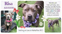 Beautiful, Best Friend, and Comfortable: Risa  A1125320  Adorable girl.  Calm yet lively, very  friendly and affectionate.  Enjoys human company  Walks well on the leash.  LOVES treats. Sits  nicely on command.  上  2 yrs old. 51 lb  Waiting on Love e Manhattan A  CC ****TO BE KILLED 09/20/17**** FRESIA FKA RISA  A BEAUTIFUL GIRL who seems still rather sad but gives sweet kisses and explores the new and confusing world she finds herself in. She's CALM but LIVELY, FRIENDLY AND AFFECTIONATE. RISA is HOPING FOR OUR HELP TO FIND HER A NEW HOME with a lot of treats so that she can show off her professional 'sit' skills. Please share her so her new family can find her!  A volunteer writes:  Risa means smile or laugh in Latin but our Risa is serious, at least, at the care center. She is a pretty grey mouse who has been well cared for and although a little shy at first, knows her ways around humans and seems to enjoy our company too. Treats are an ice breaker.. Risa soon discovers the source for them, right in my goodies bag, on the bench and attempts to serve herself. I remind her of proper table manners and she sits for more, her tail wagging excitedly. Risa walks well on the leash, does her business on the way and passes other dogs properly. She is quite obedient, comes when called, sits upon command(it never fails) and hops on the bench for bonding time. I have not seen a smile yet but she certainly knows how to kiss. She is a little cautious in playgroup with her peers and through the fence, will respond if another dog barks at her as she is I think a girl with opinions. Risa is a pretty, sociable, calm although lively, friendly , affectionate and a little pushy gal who would love to start her life again with you, as your fun and loyal forever best friend. Come and meet her soon at the Manhattan Care Center.  VIDEOS: https://youtu.be/eAi8Tc9FZoc https://youtu.be/Nq8sppdKLAU  RISA A1125320 MANHATTAN ACC  Estimated to be 2 yrs old, 51 lbs AMERICAN PIT BULL TERR MIX, GRAY / WHITE, UNALTERED FEMALE I was found in NY 10457. I have been at the shelter since Sep 12, 2017.  MOST RECENT MEDICAL INFORMATION AND WEIGHT 09/18/2017 Exam Type MS NEW URI – Medical Rating is 3 C – MAJOR CONDITIONS , Behavior Rating is NONE, Weight 51.0 LBS.  S/O BAR, appears friendly and docile at front of cage soft sneezing, serous nasal discharge eupnic bloody vulvular discharge smeared on kennel floor A CIRDC In heat P move to isolation doxycycline 250 mg PO SID x 14 days  09/12/2017 PET PROFILE MEMO 09/12/17 19:56 Basic Information: Fresia is a year old blue and white large breed dog. She was found in her finder's apartment in the hallway of his building. He couldn't keep her for himself due to the 2 small dogs he already has in the home. Behavior During Intake: She had a very stiff body when greeting her with eye adverted. She allowed petting and eventually started to wag her tail slowly after a few moments of petting her and talking to her. She allowed for me to collar her and was very calm while a picture was taken of her.  09/17/2017 WEB MEMO A volunteer writes: Fresia is a pretty grey mouse who has been well cared for and although a little shy at first, knows her ways around humans and seems to enjoy our company too. Treats are an ice breaker.. Fresia soon discovers the source for them, right in my goodies bag, on the bench and attempts to serve herself. I remind her of proper table manners and she sits for more, her tail wagging excitedly. Fresia walks well on the leash, does her business on the way and passes other dogs properly. She is quite obedient, comes when called, sits upon command(it never fails) and hops on the bench for bonding time. I have not seen a smile yet but she certainly knows how to kiss. She is a little cautious in playgroup with her peers and through the fence, will respond if another dog barks at her as she is I think a girl with opinions. Fresia is a pretty, sociable, calm although lively, friendly , affectionate and a little pushy gal who would love to start her life again with you, as your fun and loyal forever best friend. Come and meet her soon at the Manhattan Care Center.  09/18/2017 BEHAVIOR EVALUATION – EXPERIENCE Exam Type BEHAVIOR CANINE BEHAVIOR EVALUATION for Fresia A1125320 KNOWN HISTORY: None 9/12/2017 Intact female, stray SAFER ASSESSMENT: 09/14/2017 Look: 1. Dog leans forward or jumps up to lick the Assessor's face with tail wagging, ears back and eyes averted. Sensitivity: 1. Dog leans into the Assessor, eyes soft or squinty, soft and loose body, open mouth Tag: 1. Follows at end of leash, body soft Squeeze 1: 1. Dog does not respond at all for three seconds. His eyes are averted and his ears are relaxed or back. Squeeze 2: 1. Dog does not respond at all for three seconds. His eyes are averted and his ears are relaxed or back. Toy: 1. No interest Summary: Risa was initially a bit timid though readily warmed up and allowed all handling – displaying social and attention seeking behavior. PLAYGROUP: Fresia has not been comfortable around dogs in the care center, and has begun to display reactivity toward the, (charging toward, growling). The behavior department feels that Fresia would be most comfortable as the only resident dog in a home. INTAKE BEHAVIOR: 09/12/2017 Upon intake,Fresia was stiff though warmed up and allowed handling. MEDICAL BEHAVIOR: 09/13/2017 During her initial medical examination, Fresia was timid though allowed handling upon a soft approach. ENERGY LEVEL: Fresia displays a medium energy level in the care center. We recommend daily mental and physical stimulation as a way to direct her energy and enthusiasm. RECOMMENDATIONS: Experience (Suitable for an adopter with a previous amount of dog experience) _X_Single-pet home/Recommend no dog parks: Due to concerning observation around Fresia and other dogs, we recommend a single dog household.  09/14/2017 GROUP BEHAVIOR EVALUATION Exam Type GROUP BEHAVIOR Fresia has not beein comfortable around dogs in the care center, and has begun to display reactivity toward the, (charging toward, growling). The behavior department feels that Fresia would be most comfortable as the only resident dog in a home. 9/14: When introduced off leash to the female greeter dog, Fresia is cautious when approached, and attempts to walk away. 9/18: Fresia is muzzled due to displaying reactivity (lunging, growling) toward dogs in the care center. When introduced, she is tense, and charges toward the other dog while growling. She is easily distracted and removed from the yard.  FRESIA A1125320 is available to be reserved on the ACC website until noon of September 20th http://www.nycacc.org/PublicAtRisk.htm