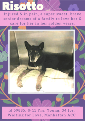 Cats, Children, and Dogs: Risotto  Injured &in pain, a super sweet, brave  senior dreams of a family to love her &  care for her in her golden years  Id 59885, @ 11 Yrs. Young, 34 lbs  Waiting for Love, Manhattan ACC INTAKE DATE – 4/13/2019  *** NEEDS PLACEMENT DUE TO MEDICAL ***  She's a sweet senior, possibly 11 years of age, who is sitting at the shelter waiting for the vet care she needs to feel better.   Poor Risotto not only suffers the aches and pains of old age, she also had osteoarthritis, bilateral cataracts, but she also has a significant open wound on her left front leg that the shelter medical team have cleaned up and bandaged.   Through it all she has been so stoic and sweet, and has never acted out even when she was in the worst pain!   Won't you give this old lady the retirement home she deserves.  Petite and waiting for a family to love her in her golden years, she hopes with all her heart that someone will step up for her.  Will it be you?  Message our page or email us at MustLoveDogsNYC@gmail.com to save Risotto's life.  RISOTTO, ID# 59885, 11 Yrs. old, 34 lbs, Unaltered Female Manhattan ACC, Medium Mixed Breed, Black / White    Owner Surrender Reason:  Shelter Assessment Rating:  Medical Behavior Rating:   MEDICAL EXAM NOTES   14-Apr-2019  Progress Exam.  S/O - pt QAR - lying in bed - food bowl partially empty.  HR – 100, R – wnl, T – np, MMB pink.  Oral examination - resisted opening of mouth - edentulous - moderate calculus.  EENT - mucoid ocular discharge - SST >15 after one minute - fluorscene stain negative - corneal opacity OU - central pigmentary keratitis.  H/L - no murmurs or arrhythmia - lungs clear.  MSKI - ambulatory x 4 - Grade 3/5 lameness on front left with a horizontal skin thickness laceration on the caudal aspect of carpus. Stiffness on ambulation x 4.  Assessment:  History - refer to intake conditions.  Progress Exam Significant findings.  1. Grade 3 Lameness on front left carpus secondary to a laceration on the caudal aspect.  2. Stiffness on ambulation x 4 secondary to marked osteoarthritis.  3. Bilateral cataracts - immature with pigmentary keratitis   Plan:  - Clip, flush and clean wound - 3 layer bandage with SS and Change in 48 hours  - Move to Adoptions - Rimadyl 4mg/kg SID for 7 days WITH FOOD ONLY  - Gabapentin 10 mg/kg BID indefinitely   NEW HOPE/ADOPTION - Recommend going at Risk and seek Hospice care  13-Apr-2019  Tech Exam.  As per Dr 1444, sedated with 0.2 mL dexdomitor and 0.2 mL butorphanol IM at 4:00 PM.  Took x-rays of left front carpus (L lat & VD), thorax (L lat, VD), and pelvis/stifles (L lat & VD) and uploaded results to vet documents. Ran CBC/chem and uploaded results to vet documents.  Administered 3.5 mL cefazolin IV, 1.5 mL convenia SQ, and 0.7 mL carprofen SQ. Gave 75 mL LRS bolus over 15 minutes.  13-Apr-2019  Blood Work Interpretation.  CBC: mild, non-regenerative anemia.  CHEM: mild increase in ALP = 342.  All remaining wnl  13-Apr-2019  Radiograph Review.  Lat/vd thorax - changes consistent with those in dog >10 yrs of age, no overt metastatic dz or evidence of trauma/pneumothorax.  FL - no fractures noted soft tissue swelling distal forelimb.  Severe osteoarthritis and boney remodeling R stifle>>L stifle.  Thickening and boney remodeling of femoral neck L hip.  Spondylosis L-S, L3-L6, C6-C7.    13-Apr-2019  DVM Intake Exam.  Estimated age: 10-12 yrs., Microchip noted on Intake? yes Microchip Number (If Applicable):4654473F11.  History : stray.  Subjective: bar, but weakly ambulatory x 4, Observed Behavior - not trying to bite, no vocalization, panting.  Evidence of Cruelty seen – no, Evidence of Trauma seen – yes.  Objective:  T =103.1, P = 110, R = pant, BCS 2-3/9.  EENT: pigmentary changes and scarring to corneals ou, ears clean, no nasal or ocular discharge noted.  Oral Exam:2-3/4 dental tarter, mm-light pink, crt 2 sec.  PLN: No enlargements noted H/L: NSR, NMA, CRT < 2, Lungs clear, eupnic.  ABD: Non painful, no masses palpated.  U/G: fs (will check/confirm when sedated for wound care), MSI: Weakly ambulatory x 4, wide based in hind and LF lameness w/ swelling extending from distal carpus to digits, 2 x 1 cm full thickness, open wound, caudal distal carpus, diffuse sarcopenia, blood noted on nails and 3rd phalanx of digits 3 and 4 LH, skin free of parasites, no masses noted, healthy hair coat.  CNS: Mentation appropriate - no signs of neurologic abnormalities.  Rectal: wnl.  Assessment: 10-12y, fs, medium, mixed-breed dog.  1) open wound LF carpus, swelling, and wounds to nails and 3rd phalanx of LH digits 3 and 4 - r/o trauma vs bite wound vs other.  2) Diffuse sarcopenia - r/o nutritional deficiency vs diffuse OA vs underlying metabolic (renal vs liver vs gi).  3) dental calculus.  4) pigmentary corneal scarring.  Prognosis: 1) wound and nails - excellent 2) diffuse sarcopenia - guarded to good pending underlying cause - significant OA R stifle and Left hip and will need ongoing nsaid therapy, joint supplement, fish oils, +/- adequan and other jt support. 3) dental calculus - excellent with complete anesthetic dental care 4) pigmentary changes - good to excellent, monitor  Plan: 1)cbc/chem - see bloodwork interpretation 2)xrays - lateral and vd LF carpus to foot, lateral and vd thorax, lateral and v/d pelvis and stifles - see xray interpretation 3)IVC placement w/ IVF bolus 75cc  4)IV cefazolin 350mg iv, followed by convenia 1.5 cc sq 5)consider carprofen 35mg sq (followed by po) pending labwork and xrays - starting with sq injection  6)tomorrow sedate hydro/dexdom to clip/clean,+/- suture LF carpal wound and LH digits/nails 7) maintaining catheter in place this evening and flush q 4-6hrs. Available for tomorrow for wound debridement.   SURGERY:  n/a    *** TO FOSTER OR ADOPT ***   If you would like to adopt a NYC ACC dog, and can get to the shelter in person to complete the adoption process, you can contact the shelter directly. We have provided the Brooklyn, Staten Island and Manhattan information below. Adoption hours at these facilities is Noon – 8:00 p.m. (6:30 on weekends)  If you CANNOT get to the shelter in person and you want to FOSTER OR ADOPT a NYC ACC Dog, you can PRIVATE MESSAGE our Must Love Dogs page for assistance. PLEASE NOTE: You MUST live in NY, NJ, PA, CT, RI, DE, MD, MA, NH, VT, ME or Northern VA. You will need to fill out applications with a New Hope Rescue Partner to foster or adopt a NYC ACC dog. Transport is available if you live within the prescribed range of states.  Shelter contact information: Phone number (212) 788-4000 Email adopt@nycacc.org Shelter Addresses: Brooklyn Shelter: 2336 Linden Boulevard Brooklyn, NY 11208 Manhattan Shelter: 326 East 110 St. New York, NY 10029 Staten Island Shelter: 3139 Veterans Road West Staten Island, NY 10309  *** NEW NYC ACC RATING SYSTEM ***  Level 1 Dogs with Level 1 determinations are suitable for the majority of homes. These dogs are not displaying concerning behaviors in shelter, and the owner surrender profile (where available) is positive. Some dogs with Level 1 determinations may still have potential challenges, but these are challenges that the behavior team believe can be handled by the majority of adopters. The potential challenges could include no young children, prefers to be the only dog, no dog parks, no cats, kennel presence, basic manners, low level fear and mild anxiety.  Level 2  Dogs with Level 2 determinations will be suitable for adopters with some previous dog experience. They will have displayed behavior in the shelter (or have owner reported behavior) that requires some training, or is simply not suitable for an adopter with minimal experience. Dogs with a Level 2 determination may have multiple potential challenges and these may be presenting at differing levels of intensity, so careful consideration of the behavior notes will be required for counselling. Potential challenges at Level 2 include no young children, single pet home, resource guarding, on-leash reactivity, mouthiness, fear with potential for escalation, impulse control/arousal, anxiety and separation anxiety.  Level 3 Dogs with Level 3 determinations will need to go to homes with experienced adopters, and the ACC strongly suggest that the adopter have prior experience with the challenges described and/or an understanding of the challenge and how to manage it safely in a home environment. In many cases, a trainer will be needed to manage and work on the behaviors safely in a home environment. It is likely that every dog with a Level 3 determination will have a behavior modification or training plan available to them from the behavior department that will go home with the adopters and be made available to the New Hope Partners for their fosters and adopters. Some of the challenges seen at Level 3 are also seen at Level 1 and Level 2, but when seen alongside a Level 3 determination can be assumed to be more severe. The potential challenges for Level 3 determinations include adult only home (no children under the age of 13), single pet home, resource guarding, on-leash reactivity with potential for redirection, mouthiness with pressure, potential escalation to threatening behavior, impulse control, arousal, anxiety, separation anxiety, bite history (human), bite history (dog) and bite history (other).