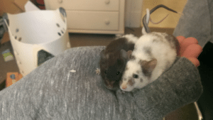 roachpatrol:  awwww-cute:  Girlfriend's mice tangle their tails when cuddling  what the fuck this is too cute : roachpatrol:  awwww-cute:  Girlfriend's mice tangle their tails when cuddling  what the fuck this is too cute