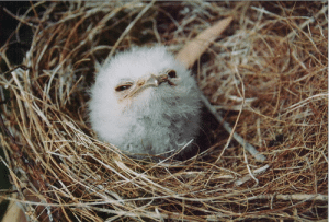 Ass, Hello, and Tumblr: robotsandfrippary: becausebirds:  vaguelychimerical:  biologizeable:  Hi hello I just need everyone to look at this picture of a baby Tawny Frogmouth  smug ass marshmallow   a suspicious cotton ball  muppet.