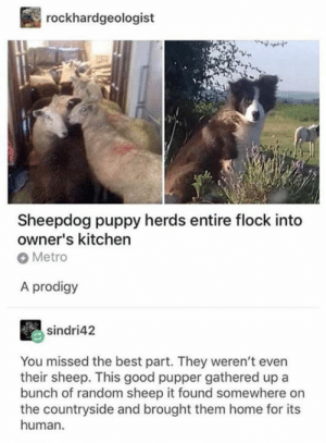 flock: rockhardgeologist  Sheepdog puppy herds entire flock into  owner's kitchen  Metro  A prodigy  sindri42  You missed the best part. They weren't even  their sheep. This good pupper gathered up a  bunch of random sheep it found somewhere on  the countryside and brought them home for its  human