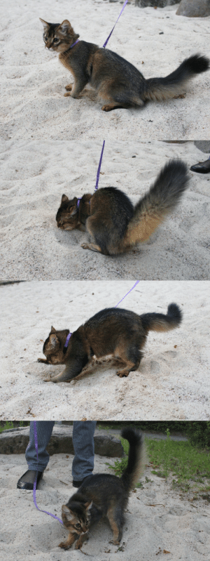 Fucking, Head, and Target: rodgertheshrubber: x-file:  catazoid:  As promised, here are some pictures of Lyalya's first walk outside! Look at the bushy little squirrel tail :D the sandpit was her favorite spot! She was extremely excited and threw sand all over the place  this is a fucking squirrel. this is a fucking squirrel with a cat's head. who is responsible for this   Has science gone too far