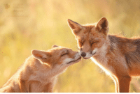 Animals, Wild, and Foxes: ROESELIEN  RAIMOND  photogrophy Did I already mention that foxes are the most social, kind and loving wild animals i ever encountered..?