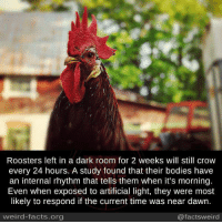 crow: Roosters left in a dark room for 2 weeks will still crow  every 24 hours. A study found that their bodies have  an internal rhythm that tells them when it's morning.  Even when exposed to artificial light, they were most  likely to respond if the current time was near dawn.  weird-facts.org  @facts weird