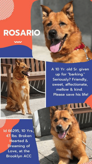 "Being Alone, Apparently, and Cats: ROSARIO  A 10 Yr. old Sr. given  up for ""barking.  Seriously? Friendly,  sweet, affectionate,  mellow & kind.  Please save his life!  Id 66295, 10 Yrs.,  47 lbs. Broken  Hearted &  Dreaming of  Love, at the  Brooklyn ACC TO BE KILLED – 6/25/2019  A Broken Hearted Senior is devastated and dreams of going home.  <3  How do you think it feels when you are 10 years old (like, 100 in human years) and the ONLY family you have ever known since you were two months old gives you up for ""barking too much.""  Seriously?  We are disgusted by people.  Rosario has done nothing wrong, and if you read his surrender notes you would see that he is an affectionate, playful, mellow gentleman who is gentle with children and friendly to strangers.  He is perfectly trained, and even knows his commands in Spanish.  This boy intended to spend his whole life with the family he loved, and after giving them everything – including his heart, they stepped on it and tossed him out like trash.  He is understandably freaked out at the shelter, and why not?  He's only known family life.   This sweet, well trained, senior should be spending his golden years on a cushy bed, surrounded by people who love and appreciate him.  Maybe if his family had paid a speck of attention to him, he wouldn't have barked.   He needed them to 'see' him.  Instead they saw him out the door.     If you are the experienced foster or adopter who can give Rosario back his smile, please hurry and message our page or email us at MustLoveDogsNYC@gmail.com for assistance saving his life.  He needs to go to an adult only home (no children under age 13).   ROSARIO, ID# 66295, 10 Yrs. Old, 47.2 lbs, Unaltered Male Brooklyn ACC, Medium Mixed Breed, Tan Owner Surrender Reason:  Barks too much ( we can't make this sh*t up) Shelter Assessment Rating:   New Hope Rescue Only Behavior Condition:   3. yellow  AT RISK NOTE:    Although he has shown some improvement, Rosario remains highly fearful in the care center and is hesitant to interact at times. He has been observed to avoid contact with staff members and has escalated to snapping when uncomfortable. We feel he would be best set up to succeed if placed with an experienced rescue partner who can allow him to acclimate and decompress at his own pace. Rosario is otherwise healthy.  INTAKE NOTE – DATE OF INTAKE, 6/17/2019:  Rosario allowed no handling due to having a tense body, his ears pinned back, lip licking, and pacing back and forth during intake.  OWNER SURRENDER NOTES – BASIC INFORMATION:  Rosario is an approx 10 year old medium sized tan male dog that was surrendered to BACC due to barking too much. Owner had Rosario since he was 2 months old and the last time he went to the vet was a year ago.  Rosario lived with 2 adults.  Rosario is friendly when someone were to come to the house. Rosario has been around a 4 year old child and was described to be affectionate and respectful of the child.  Rosario has not lived with dogs, but when on walks he would be respectful of them.  Rosario has not been around cats.  Rosario has no reported resource guarding. Rosario has no bite history.  He is housetrained and has a medium energy level.     Other Notes:: Rosario is terrified of loud noises, like fireworks and ambulances, he will hide, panic, and is very nervous when he hears it. Rosario is not bothered when moved from the furniture, when restrained, when his sleep is interrupted, when given a bath, when his coat is brushed, or when his paws are touched. Rosario is not bothered when someone unfamiliar approaches the home or family member.  For a New Family to Know: Rosario is described as friendly, affectionate, playful, and mellow. Rosario will follow someone around or be in the same room as them when they are home. Rosario will play with toy balls and stuffed toys. Rosario likes to play fetch and tug. Rosario has been kept mostly indoors and will sleep with his owner on the bed. Rosario was fed rice and chicken pedigree wet food 3 times a day. Rosario is house trained and will use the potty on any surface outdoors. Rosario will destroy the walls by scratching it and bark/whine when left home alone. Rosario understands spanish cues like sit, lay down, and come. Rosario goes on brisk walks on the leash and pulls very hard.  SHELTER ASSESSMENT SUMMARIES   Leash Walking  Strength and pulling: Mild pulling  Reactivity to humans: None  Reactivity to dogs: None  Leash walking comments:   Sociability  Loose in room (15-20 seconds): Tense body, open mouth, panting, tail low-tucked, avoided contact, did not approach, stayed near door seeking exit Since Rosario's admission to the care center on 6/17/19, his behavior has remained highly fearful and he is wary of all handling. He has been observed to remain tense and display fearful body language during his interactions and upon attempts to clip a leash to his collar, Rosario has escalated to snapping toward handlers. During an interaction with staff members, Rosario was brought into the assessment room and was unable to settle or relax, but rather stayed near the door or hid from handlers. After some time, he allowed minimal and slow contact from the handler, but continued to display a tense body and overall discomfort. These observations are indicative of a very high level of fearfulness and stress. To eliminate the risk of increasing Rosario's stress level any further, along with the risk of redirecting the stress onto a handler or another animal in our care, we will not be conducting a handling assessment for Rosario at this time.   PLAYGROUP NOTES – DOG TO DOG SUMMARIES: According to Rosario's previous owner, he has not lived with dogs, but when on walks he would be respectful of them.   6/18: When off leash at the Care Center, Rosario is introduced to a novel female dog. He is fearful displaying a tucked posture and does not greet or approach the female. He stays in the first pen for the entire session.   6/19: Rosario wandered the pens today and greeted a novel female briefly. He becomes sexually motivated but walks away to continue coloring the pens. He spends the remainder of the session keeping to himself.   INTAKE BEHAVIOR - Date of intake:: 6/17/2019 Summary:: Tense, ears back, lip licked, pacing; No handling performed  MEDICAL BEHAVIOR - Date of initial:: 6/18/2019 Summary:: Very nervous, trembling, avoids contact, attempts to flee, mouths with contact  ENERGY LEVEL:: We are unable to accurately determine Rosario's energy level due to his high level of fearfulness observed in the care center.  IN SHELTER OBSERVATIONS:: 6/19/19: Rosario allowed the handler to place the rope around him and remove him from his kennel. Once outside for a playgroup interaction, the handler slowly bent down to clip a leash to his collar and Rosario was observed to head whip and snap toward the handler's hand. 6/20/19: As the handler was returning Rosario to his kennel, he was observed to stop at a smaller dog's kennel and displayed a wagging tail and a loose body.   BEHAVIOR DETERMINATION:: New Hope Only Behavior Asilomar: TM - Treatable-Manageable  Recommendations:: No children (under 13),Place with a New Hope partner Recommendations comments:: No children (under 13): Due to Rosario's overall level of fear with the potential for defensive aggression observed in the care center, as well as the separation anxiety reported by his previous owner, we feel he would be best set up to succeed in an adult-only home at this time. Place with a New Hope partner: Although he has shown some improvement, Rosario remains highly fearful in the care center and is hesitant to interact at times. He has been observed to avoid contact with staff members and has escalated to snapping when uncomfortable. We feel he would be best set up to succeed if placed with an experienced rescue partner who can allow him to acclimate and decompress at his own pace. Force-free, reward based training only is advised when introducing or exposing Rosario to new and unfamiliar situations, as well as utilizing guidance from a qualified, professional trainer/behaviorist.   Potential challenges: : Fearful/potential for defensive aggression,Separation anxiety Potential challenges comments:: Separation anxiety: Previous owner reported Rosario to exhibit separation anxiety and will escalate to scratching at the walls, barking and crying when left alone. Please refer to the handout for Separation anxiety. Fearful/potential for defensive aggression: Rosario exhibits a very high overall level of fear during his interactions in the care center, where he attempts to flee, avoids contact and has escalated to snapping toward handlers. Please refer to the handout for Fearful/potential for defensive aggression.  MEDICAL EXAM NOTES  6/18/2019 [DVM Intake] DVM Intake Exam Estimated age: 10 years Microchip noted on Intake? No History : O/S Subjective: BARH. No csvd Observed Behavior - Very nervous, shaking, backs into corner and tries to flee, attempts to mouth when touched Evidence of Cruelty seen - no Evidence of Trauma seen - no Objective P = wnl R = wnl BCS 6/9 EENT: Eyes clear, ears clean, no nasal or ocular discharge noted Oral Exam: not performed due to temperament PLN: No enlargements noted H/L: NSR, NMA, CRT < 2, Lungs clear, eupnic ABD: Non painful, no masses palpated U/G: MI with two descended testicles, no discharge MSI: Ambulatory x 4, skin free of parasites, no masses noted, healthy hair coat CNS: Mentation appropriate - no signs of neurologic abnormalities Rectal: normal externally Assessment apparently healthy Prognosis: good Plan: no tx needed SURGERY: Okay for surgery (in house only w/pre-op bloodwork)  6/21/2019 Start trazodone 5 mg/kg po bid indefinitely for shelter anxiety  *** TO FOSTER OR ADOPT ***  ROSARIO IS RESCUE ONLY. You must fill out applications with New Hope Rescues to foster or adopt him. He cannot be reserved online at the ACC ARL, nor can he be direct adopted at the shelter. PLEASE HURRY AND MESSAGE OUR PAGE FOR ASSISTANCE!   HOW TO RESERVE A ""TO BE KILLED"" DOG ONLINE (only for those who can get to the shelter IN PERSON to complete the adoption process, and only for the dogs on the list NOT marked New Hope Rescue Only). Follow our Step by Step directions below!   *PLEASE NOTE – YOU MUST USE A PC OR TABLET – PHONE RESERVES WILL NOT WORK! **   STEP 1: CLICK ON THIS RESERVE LINK: https://newhope.shelterbuddy.com/Animal/List  Step 2: Go to the red menu button on the top right corner, click register and fill in your info.   Step 3: Go to your email and verify account  \ Step 4: Go back to the website, click the menu button and view available dogs   Step 5: Scroll to the animal you are interested and click reserve   STEP 6 ( MOST IMPORTANT STEP ): GO TO THE MENU AGAIN AND VIEW YOUR CART. THE ANIMAL SHOULD NOW BE IN YOUR CART!  Step 7: Fill in your credit card info and complete transaction   HOW TO FOSTER OR ADOPT IF YOU *CANNOT* GET TO THE SHELTER IN PERSON, OR IF THE DOG IS NEW HOPE RESCUE ONLY!   You must live within 3 – 4 hours of NY, NJ, PA, CT, RI, DE, MD, MA, NH, VT, ME or Norther VA.   Please PM our page for assistance. You will need to fill out applications with a New Hope Rescue Partner to foster or adopt a dog on the To Be Killed list, including those labelled Rescue Only. Hurry please, time is short, and the Rescues need time to process the applications.  Shelter contact information Phone number (212) 788-4000  Email adoption@nycacc.org  Shelter Addresses: Brooklyn Shelter: 2336 Linden Boulevard Brooklyn, NY 11208 Manhattan Shelter: 326 East 110 St. New York, NY 10029 Staten Island Shelter: 3139 Veterans Road West Staten Island, NY 10309    *** NEW NYC ACC RATING SYSTEM ***  Level 1 Dogs with Level 1 determinations are suitable for the majority of homes. These dogs are not displaying concerning behaviors in shelter, and the owner surrender profile (where available) is positive.   Level 2  Dogs with Level 2 determinations will be suitable for adopters with some previous dog experience. They will have displayed behavior in the shelter (or have owner reported behavior) that requires some training, or is simply not suitable for an adopter with minimal experience.    Level 3 Dogs with Level 3 determinations will need to go to homes with experienced adopters, and the ACC strongly suggest that the adopter have prior experience with the challenges described and/or an understanding of the challenge and how to manage it safely in a home environment."