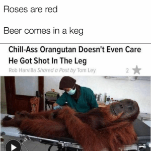 Ass, Beer, and Chill: Roses are red  Beer comes in a keg  Chill-Ass Orangutan Doesn't Even Care  He Got Shot In The Leg  Rob Harvilla Shared a Post by Tom Ley Yeet : dankmemes
