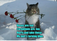 """HAPPY VALENTIN'S DAY! Here's a chance for your cat to win a meowbox full of cat fun! To enter just post a picture of your cat celebrating today with the hashtag #valentinesmeowbox then go give meowbox a """"LIKE"""" and that's all. Ships worldwide, good luck!: Roses are red,  Carnations are, too.  Hurry and take these  My buttsturning blue HAPPY VALENTIN'S DAY! Here's a chance for your cat to win a meowbox full of cat fun! To enter just post a picture of your cat celebrating today with the hashtag #valentinesmeowbox then go give meowbox a """"LIKE"""" and that's all. Ships worldwide, good luck!"""