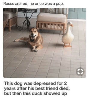 Best Friend, Tumblr, and Best: Roses are red, he once was a pup,  This dog was depressed for 2  years after his best friend died,  but then this duck showed up awesomacious:  this makes me incredibly happy