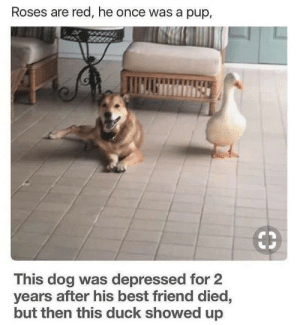 Best Friend, Best, and Duck: Roses are red, he once was a pup,  This dog was depressed for 2  years after his best friend died,  but then this duck showed up