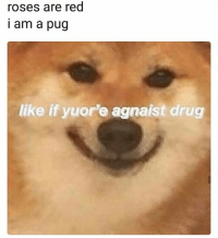 Drug, Red, and Pug: roses are red  i am a pug  like if yuor'e agnaist drug