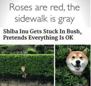 Doge, Memes, and Shiba Inu: Roses are red, the  sidewalk is gray  Shiba Inu Gets Stuck In Bush,  Pretends Everything Is OK Poetic Doge via /r/memes https://ift.tt/2MqAj7R