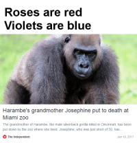 """<p>Jugs out via /r/memes <a href=""""http://ift.tt/2iJ1jWx"""">http://ift.tt/2iJ1jWx</a></p>: Roses are red  Violets are blue  Harambe's grandmother Josephine put to death at  Miami zoo  The grandmother of Harambe, the male silverback gorilla killed in Cincinnati, has been  put down by the zoo where she lived. Josephine, who was just short of 50, has.  The Independent  Jan 19,2017 <p>Jugs out via /r/memes <a href=""""http://ift.tt/2iJ1jWx"""">http://ift.tt/2iJ1jWx</a></p>"""
