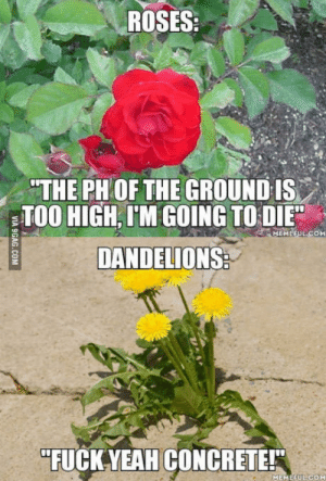 """Weed, What Is, and Ralph Waldo Emerson: ROSES:  THE PH OF THE GROUND IS  TOO HIGH, I'M GOING TO DIE  DANDELIONS  MEMEFULCoM  """"FUCKYEAH CONCRETE!  MEMEFUL COM What is a weed? A plant whose virtues have not yet been discovered."""" ― Ralph Waldo Emerson"""