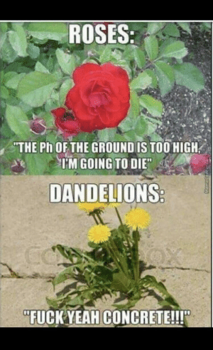 """Beautiful, Dank, and Memes: ROSES  THE Ph OFTHE GROUND IS TOO HIGH  TM GOING TO DIE  DANDELIONS  """"FUCK YEAHCONCRETE!!! Ancient and beautiful relic by blackwatchdoctor MORE MEMES"""
