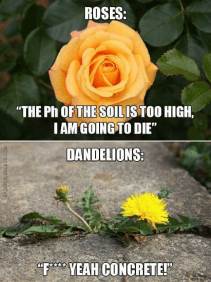 "Tumblr, Yeah, and Blog: ROSES:  ""THE Ph OFTHE SOILISTOO HIGH.  IAM GOING TO DIE""  DANDELIONS  ED  F YEAH GONCRETE! scotchtapeofficial: i keep visualizing the dandelion as chillin with his dick out"