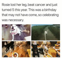 Birthday, Life, and Love: Rosie lost her leg, beat cancer and just  turned 5 this year. This was a birthday  that may not have come, so celebrating  Was necessary. Amazing that @rosiethetripawd1 navigated her new 3 pawed life while undergoing chemo, now she just turned 5 and is being flooded with love. Oh and she's quite loving herself. @gooddogtails. Pup @rosiethetripawd1