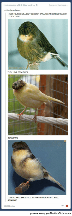 awesomesthesia:  Look At These Guys And Their Bowlcuts: rough-reckless-wild i-just-want-t...  Source: 0ohtheyhaveni..  oohtheyhavenibbles:  JUST FOUND OUT ABOUT GLOSTER CANARIES AND I'M GONNA CRY  LOOKIT THEM  2004 Donald Perez  THEY HAVE BOWLCUTS  BOWLCUTS  LOOK AT THAT SMUG LITTLE F* KER WITH HIS F*KING  BOWLCUT  120,782 notes  you should probably go to TheMetaPicture.com awesomesthesia:  Look At These Guys And Their Bowlcuts