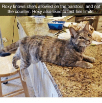 Roxy is my spirit animal (@meme.animal.tv): Roxy knows she's allowed on the barstool, and not  the counter. Roxy also likes to test her limits. Roxy is my spirit animal (@meme.animal.tv)