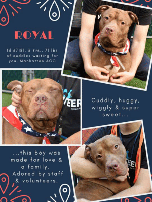 """Apparently, Beautiful, and Children: ROYAL  Id 67181, 3 Yrs., 71 lbs  of cuddles waiting for  you, Manhattan ACC  Cuddly, huggy,  wiggly & super  EER  nycacco  sweet...  ..this boy was  EE  made for love &  a family.  Adored by staff  & volunteers TO BE KILLED - 7/9/2019  ROYAL is royalty at the Manhattan ACC!  <3 See why volunteers simply adore this wonderful, cuddly, happy boy! A volunteer writes: """"True to his name, Royal is as charming as he is graceful. After the first sniffs have been made, Royal becomes a great companion for a walk, gentle on the leash, and unfazed by squirrels and other dogs. But do not be mistaken: Royal sure has a silly side. As soon as you sit down with him, you find yourself covered in kisses and requests for belly rubs. Royal loves to be held, and back scratches while he is gazing into the sky are as just as welcome as belly rubs. Unselfish as he is, Royal is returning the love by snuggling himself into your lap and giving a million doggy kisses. Royal is a beautiful, energetic 3 year old who loves walks in the parks just as much as hanging out on the park bench watching the sun go down. Royal is the perfect mix between sophistication and puppy-like enthusiasm, and will snuggle his way into your heart in no time. Royal is waiting for you at the ACC to take him to his forever home!""""  MY MOVIE:  Sweetheart Royal ~ Loves to cuddle and to hug https://youtu.be/uGi0QCljinI  ROYAL, ID# 67181, 3 yrs old, 71.6 lbs, Unaltered Male Manhattan ACC, Large Mixed Breed, Brown / White  Owner Surrender Reason: Shelter Assessment Rating: LEVEL 3 No children (under 13) Medical Behavior Rating: 2. Blue  BEHAVIOR NOTES   Means of surrender (length of time in previous home): Owner Surrender (In home for 3 years) Previously lived with: Adults and children (ages 3-7) Behavior toward strangers: Friendly and outgoing, may jump up Behavior toward children: Respectful, playful and tolerant Behavior toward dogs: Friendly and playful Resource guarding: None reported B"""