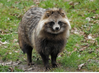 RT @FactsOrDie: This is a Japanese Raccoon dog and I want one IMMEDIATELY 😍: RT @FactsOrDie: This is a Japanese Raccoon dog and I want one IMMEDIATELY 😍