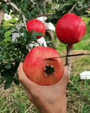 RT @learnthngs: HOW TO EFFECTIVELY SLICE A POMEGRANATE: https://t.co/O4xphunsv2: RT @learnthngs: HOW TO EFFECTIVELY SLICE A POMEGRANATE: https://t.co/O4xphunsv2